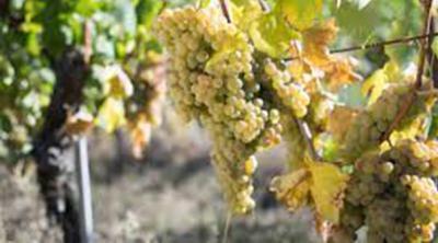 Il vino bianco tra i più premiati d'Italia? Il Verdicchio: stili, tipologie, zone e vini