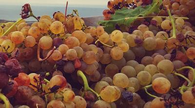 Il vino che ama il mare: il Vermentino