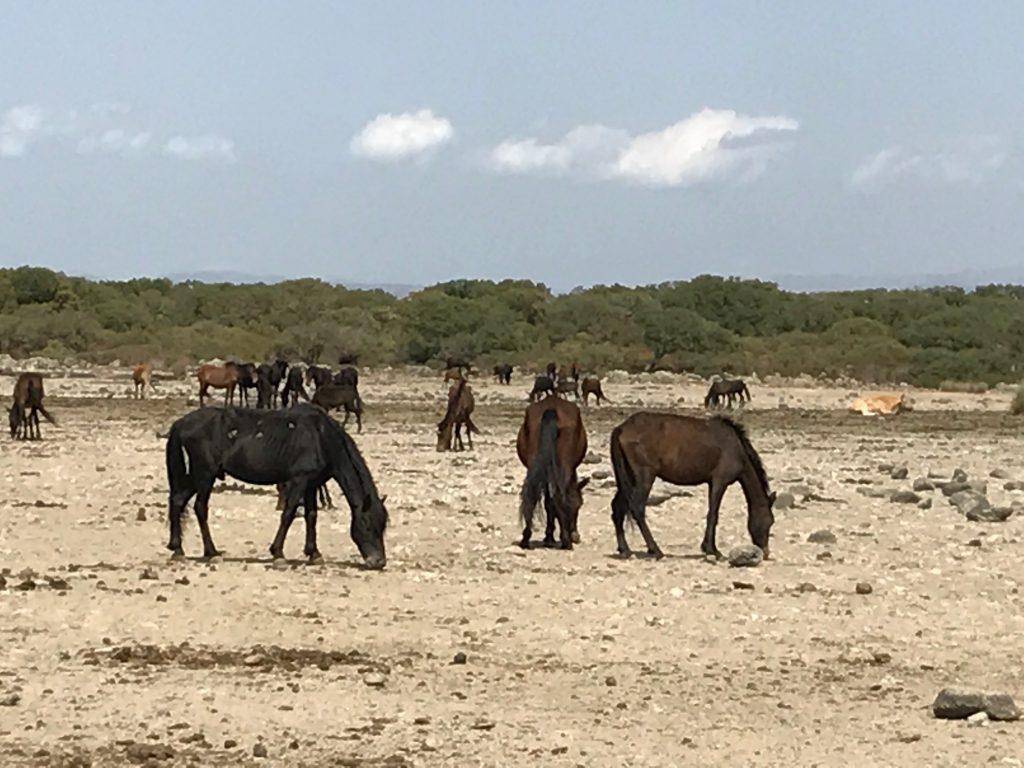 I cavalli della Giara di Gesturi
