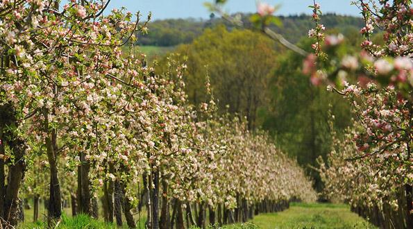 sidro piantagione mele